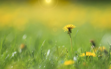 art photo of dandelion seeds close up on natural blurred background