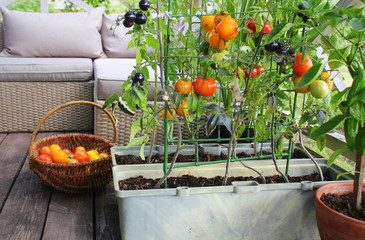 Wall Murals Garden Container vegetables gardening. Vegetable garden on a terrace. Red, orange, yellow, black tomatoes growing in container