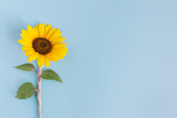 In de dag Zonnebloem Beautiful sunflower on a blue background. Place for text.