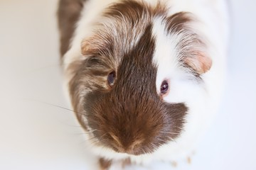 A portrait of a cute brown and white pet guinea pig on white background.