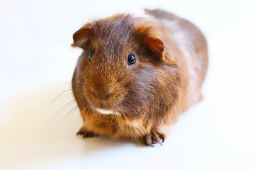 A portrait of a cute brown pet guinea pig on white background.