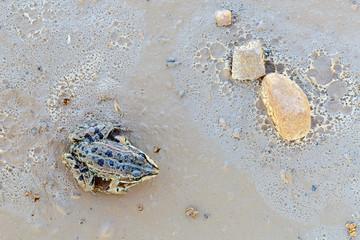 Rana verde común vista desde arriba sobre tierra húmeda y varias piedras. Ridibunda. Pelophylax perezi.