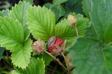 Snails, slugs or brown slugs destroy plants in the garden
