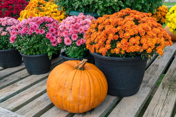Chrysanthemum plants for autumn displays.