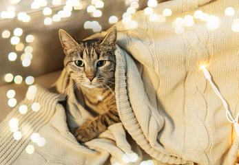 Fototapete - pets and hygge concept - tabby cat lying on blanket at home in winter