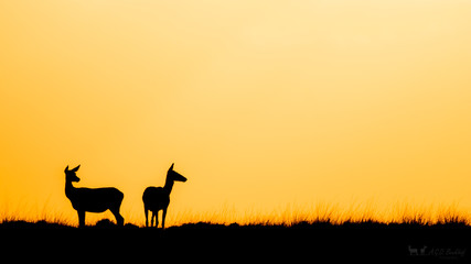 silhoutte of two deer at sunset.