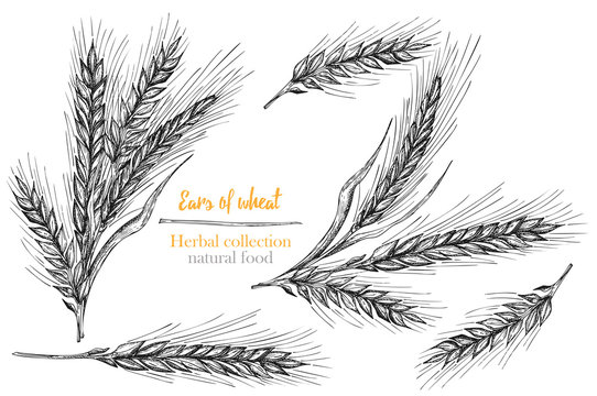 Set botany hand drawn sketch Ears of wheat sheaf isolated on white background. Engraving style. Herbal frame. Natural food collection. Vintage vector illustration.