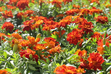 closeup of Marigold or Tagetes for perennial colorful garden