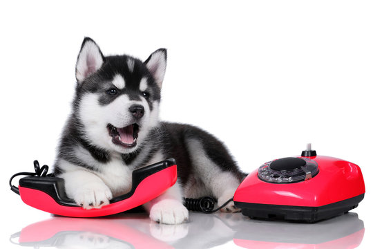 Cute fluffy Siberian Husky puppy with a red phone on a white background, black and white puppy
