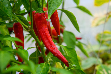 Canvas Prints Hot chili peppers Red hot chili peppers growing in a garden