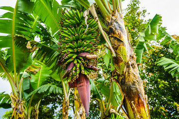 View on banana plant next to the village of Jardin, Colombia Wall mural