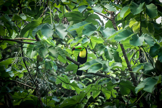 Toucan - Panama Natural Habitat