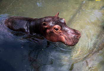 Fatima, a two-year-old hippopotamus rescued from a circus, swims at the zoo in Managua
