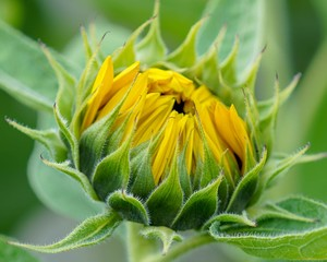 Large Sunflower Bud About to Bloom