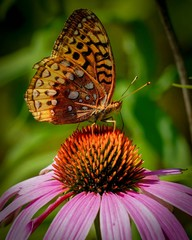 Aphrodite fritillary butterfly on flower