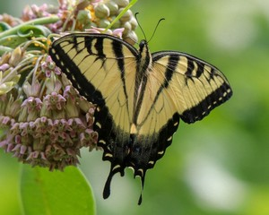Yellow Swallowtail butterfly on flower