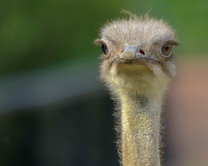 Ostrich looking at you, closeup