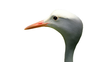 Head blue crane on white background for create or dicut picture.
