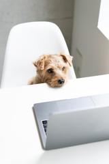Norfolk Terrier dog watching Laptop computer