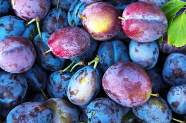 Background of beautiful home plums. The autumn harvest. - Image
