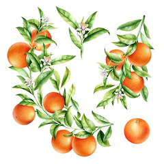 Oranges on a branch set. Isolated watercolor illustration of citrus tree with leaves and blossoms.