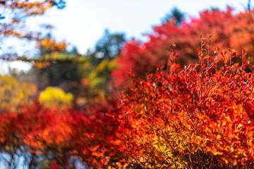 Fototapeten Rot Close-up Enkianthus ( Dodan-Tsutsuji ) fall foliage in sunny day. beautiful autumn landscape background