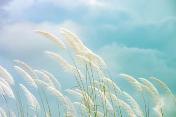 Foto op Plexiglas Lichtblauw reeds grass background in gentle, reeds grass is a natural background that feels romantic.