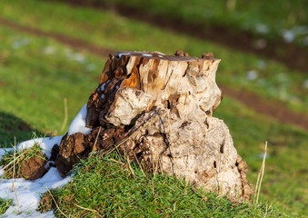 Stump from a sawn tree in nature