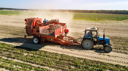 Farmers harvesting red  beets  aerial view