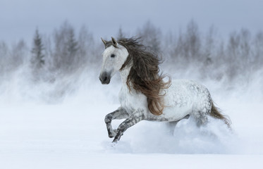 Wall Mural - Gray long-maned Spanish horse galloping during snowstorm.
