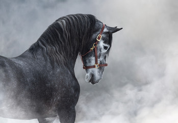 Wall Mural - Portrait of gray Purebred Spanish horse in smoke.