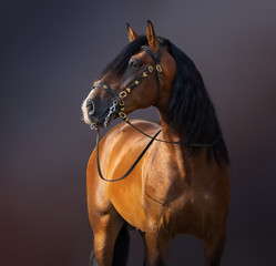 Fototapete - Spanish Horse in traditional baroque bridle on dark background.