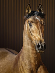 Fototapete - Golden dun young Andalusian horse on striped background.