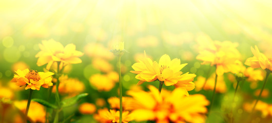 Flower meadow in soft light. Flower panorama for spring and summer design. Heliopsis flowers on blurry bokeh background.