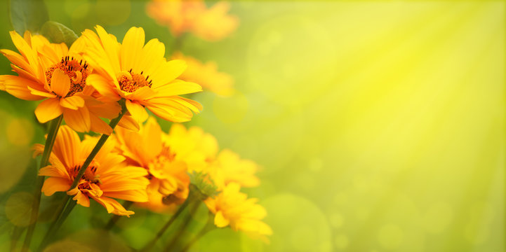Yellow flowers with the option of tinting. Flower panorama for spring and summer. Heliopsis flowers in soft light on a blurred background for design and decoration.
