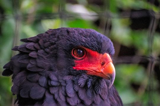 Head Shot of Bateleur Eagle