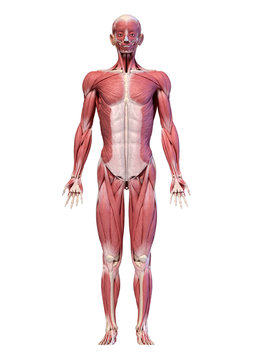 Human body, full figure male muscular system, front view.