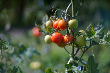 red and green tomatoes on tomato plant