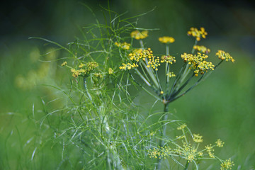 dill plant with yellow blossoms