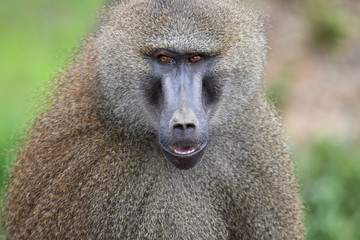 Nice image of guinea baboons. Animal photo