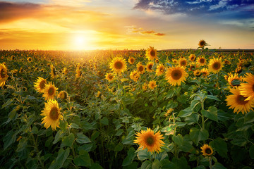 Beautiful sunset over sunflower field Fototapete