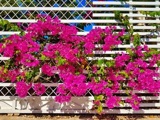 Buganvilla on a fence