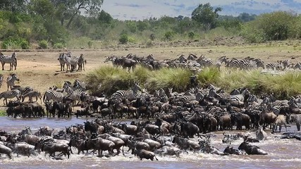 Fototapete - Wildebeests are crossing  Mara river. Great Migration. Kenya. Tanzania. Maasai Mara National Park.