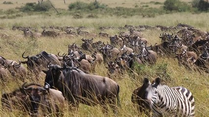 Fototapete - Big herd of wildebeest in the savannah. Great Migration. Kenya. Tanzania. Maasai Mara National Park.