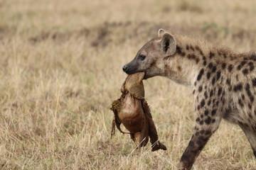 Fotobehang Hyena Spotted hyena (crocuta crocuta) carrying the stomach of a wildebeest, Masai Mara National Park, Kenya.
