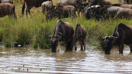 Fototapete - Wildebeest at a watering place. Masai Mara National Park. Kenya. Great Migration.