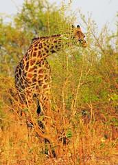 Thornicroft Giraffe -  also known as Rhodesian Giraffe -  feeding on a green vibrant bush. The Giraffe is bending slightly and is looking through the bush into camera.  South Luangwa , Zambia