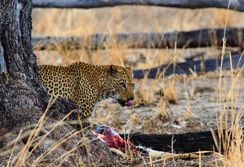 Leopard (Panthera Pardus) walking out from behind a tree with a kill in South Luangwa National Park, Zambia