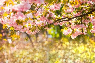 Beautiful sakura blossoms over defocused light background