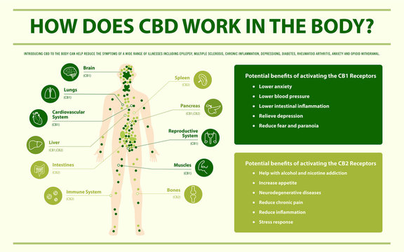 How Does CBD Work In the Body infographic illustration about cannabis as herbal alternative medicine and chemical therapy, healthcare and medical science vector.